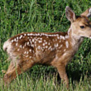 Fawn In The Open Poster