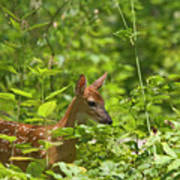 Fawn Relaxing Poster