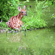 Fawn White Tailed Deer Wildlife Poster