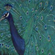 Feathery Fan Poster