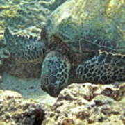 Feeding Sea Turtle Poster