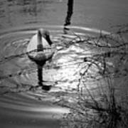Feeding Trumpeter Swan In Black And White Poster