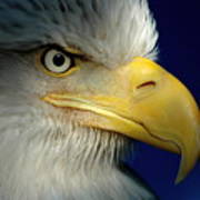 Female Bald Eagle Alaska Poster