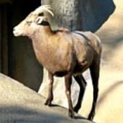 Female Bighorn Sheep Ewe Poster