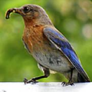 Female Bluebird Feeding Her Brood Poster
