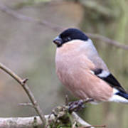 Female Bullfinch Poster