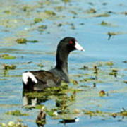 Female Coot Poster