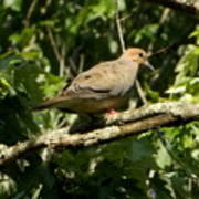 Female Dove Resting On Limb Poster