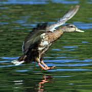 Female Duck Landing Poster