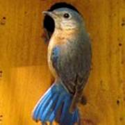 Female Eastern Bluebird 7 Poster