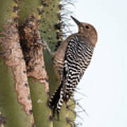 Female Gila Woodpecker-img__2691-2016 Poster