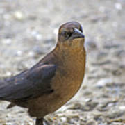 Female Grackle With Attitude Poster