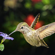 Female Hummingbird And A Small Blue Flower Left Angled View Poster