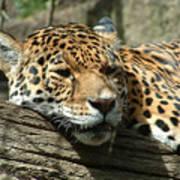 Female Jaguar Poster