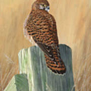 Female Kestrel Study Poster