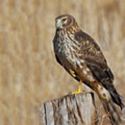 Female Northern Harrier Standing On One Leg Poster