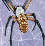 Female Orb Spider Poster