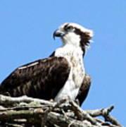 Female Osprey Poster