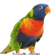 Female Rainbow Lorikeet - Trichoglossus Haematodus Poster by Life On White