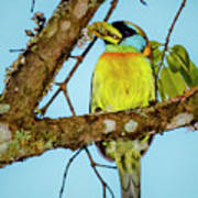 Female Red-headed Barbet Alcazares Manizales Colombia Poster