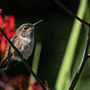 Female Rufous Hummingbird Poster