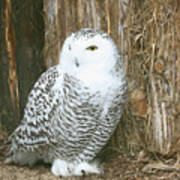 Female Snowy Owl Poster