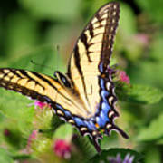 Female Tiger Swallowtail On Burdock Poster