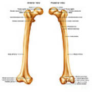 Femur, Anterior And Posterior View Poster