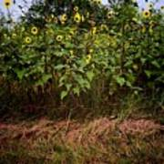 Fence Line Sunflowers Poster