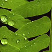 Fern Close-up With Water Droplets  Poster