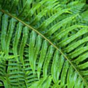 Ferns After A Spring Rain Poster