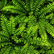 Ferns After The Rain Poster