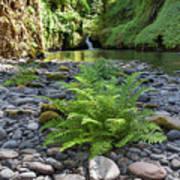 Ferns Along Banks Of Eagle Creek Poster