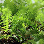 Ferns Of The Forest Floor Poster