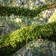 Ferns On Live Oak Poster