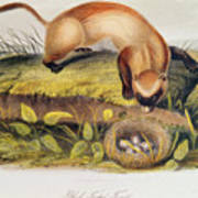 Ferret Poster by John James Audubon