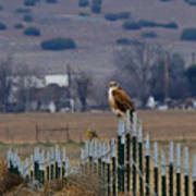 Ferruginous Hawk And Meadowlark Poster