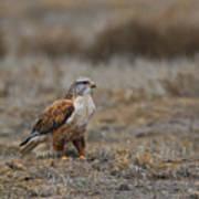 Ferruginous Hawk In Field Poster