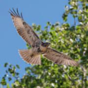 Young Hawk Soaring Poster