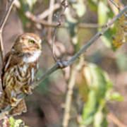 Ferruginous Pygmy-owl Poster