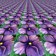 Field Of African Violets Poster