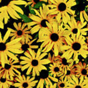 Field Of Black-eyed Susans Poster