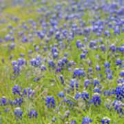 Field Of Blue Bonnet Flowers Poster