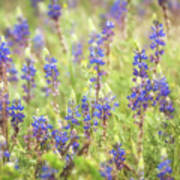 Field Of Blue Lupines  Poster
