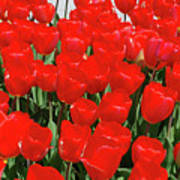 Field Of Brilliant Red Tulip Flowers In A Garden Poster