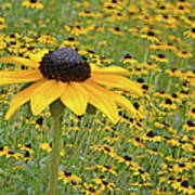 Field Of Coneflowers Poster