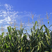 Field Of Corn Against A Clear Blue Sky Poster