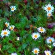 Field Of Daisys  Poster