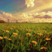 Field Of Dandelions At Sunset Poster