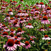 Field Of Echinacea Poster